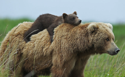 guide to responsible backpacking - momma bear and cub