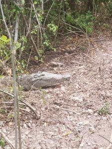 Crocodile on Bear Lake Trail