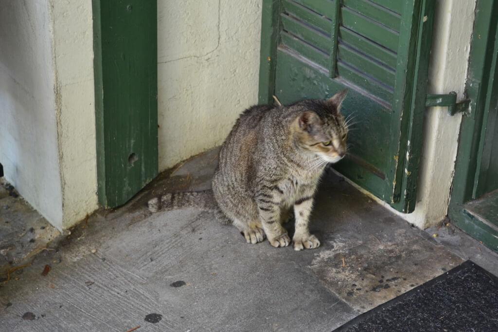 Polydactyl (Six-Toed) Cat