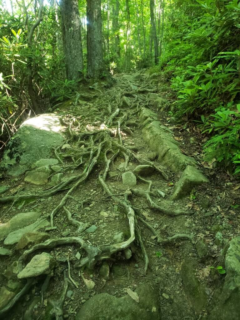 Roots on Low Gap Trail in GSMNP